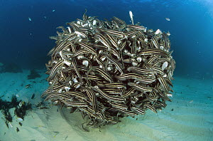 Striped Catfish (Plotosus lineatus) form amazingly dense schools for protection from predators, Forster-Tuncurry, New South Wales, Australia  -  Fred Bavendam