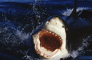 Great White Shark (Carcharodon carcharias) attacking with mouth open as he launches from the water, Neptune Islands, South Australia  -  Fred Bavendam