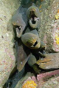 Fine-spotted Moray Eel (Gymnothorax dovii) group, Malpelo Island, Colombia  -  Fred Bavendam