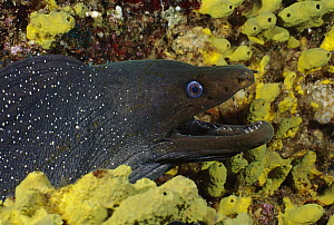 Fine-spotted Moray Eel (Gymnothorax dovii) among coral, Galapagos Islands, Ecuador  -  Fred Bavendam