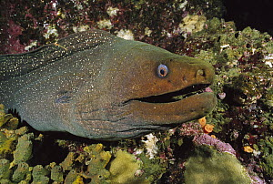 Fine-spotted Moray Eel (Gymnothorax dovii) amid coral, Galapagos Islands, Ecuador  -  Fred Bavendam
