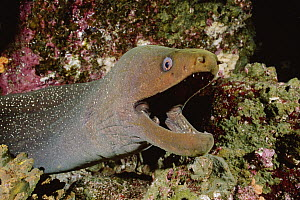 Fine-spotted Moray Eel (Gymnothorax dovii) with mouth wide open, Galapagos Islands, Ecuador  -  Fred Bavendam