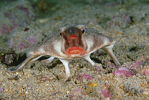 Red-lipped Batfish (Ogcocephalus darwini) portrait, Galapagos Islands, Ecuador  -  Fred Bavendam