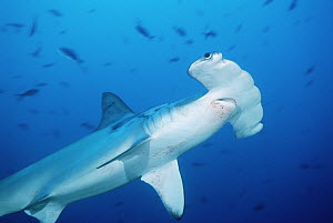Scalloped Hammerhead Shark (Sphyrna lewini) swimming among reef fish, Cocos Island, Costa Rica - Fred Bavendam