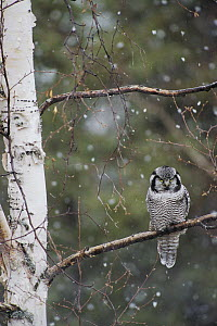 Northern Hawk Owl (Surnia ulula) perching on branch during snowfall in spring, Alaska - Michael Quinton