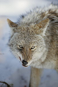 Coyote (Canis latrans) snarling while feeding on deer carcass, North America  -  Michael Quinton