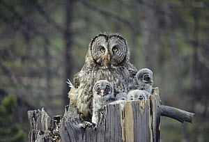 Great Gray Owl (Strix nebulosa) parent with owlets in nest cavity at top of snag, Idaho  -  Michael Quinton