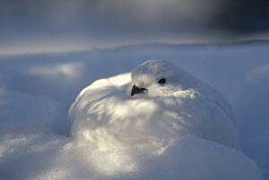 Willow Ptarmigan (Lagopus lagopus) with camouflaged winter plumage in snow burrow, Alaska  -  Michael Quinton