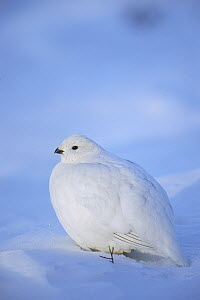 Willow Ptarmigan (Lagopus lagopus) in winter plumage, Alaska - Michael Quinton