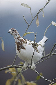 Willow Ptarmigan (Lagopus lagopus) with fall plumage perching on branch, Alaska  -  Michael Quinton