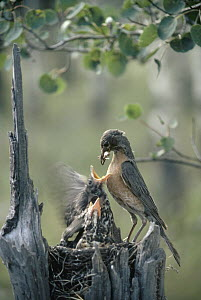 American Robin (Turdus migratorius) parent feeds grasshopper to chicks in nest cavity at top of a snag, summer, Idaho  -  Michael Quinton