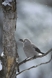 Clark's Nutcracker (Nucifraga columbiana) feeding on Whitebark Pine (Pinus albicaulis) nuts during snowfall in winter, Idaho  -  Michael Quinton