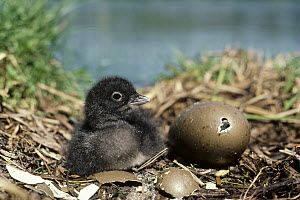 Common Loon (Gavia immer) chick with hatching egg in nest in the summer, Wyoming  -  Michael Quinton