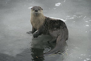 North American River Otter (Lontra canadensis) on iced over river, Yellowstone National Park, Wyoming  -  Michael Quinton