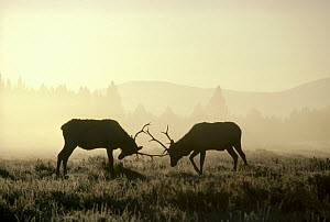 Elk (Cervus elaphus) two males sparring in the fall, Yellowstone National Park, Wyoming  -  Michael Quinton