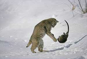 Bobcat (Lynx rufus) fighting with Muskrat (Ondatra zibethicus) in winter, Idaho. Sequence 2 of 4  -  Michael Quinton