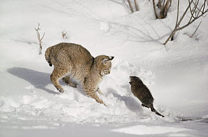 Bobcat (Lynx rufus) hunting Muskrat (Ondatra zibethicus) in winter, Idaho. Sequence 3 of 4  -  Michael Quinton
