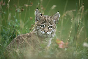 Bobcat (Lynx rufus) kitten in tall spring grass, Idaho  -  Michael Quinton