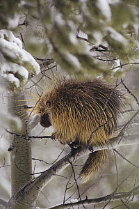 Common Porcupine (Erethizon dorsatum) sitting in a tree in winter, Yellowstone National Park, Wyoming - Michael Quinton