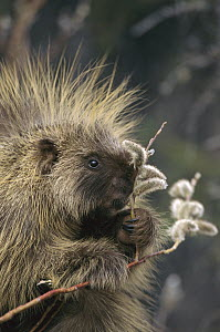 Common Porcupine (Erethizon dorsatum) feeding on Pussy Willow (Salix discolor) in spring, Alaska  -  Michael Quinton