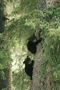 Black Bear (Ursus americanus) two cubs climbing a tree in the spring, Jasper National Park, Alberta, Canada  -  Michael Quinton
