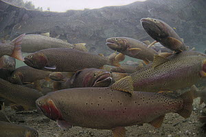 Cutthroat Trout (Oncorhynchus clarki) group in spring, Henry's Lake, Idaho  -  Michael Quinton