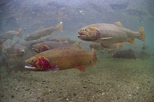 Cutthroat Trout (Oncorhynchus clarki) group in spring, Idaho  -  Michael Quinton