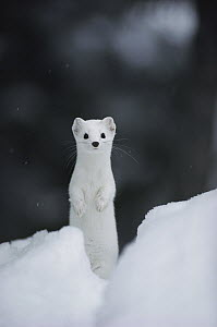 Long-tailed Weasel (Mustela frenata) camouflaged in white winter coat, Idaho  -  Michael Quinton