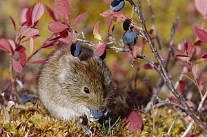 Northern Red-backed Vole (Clethrionomys rutilus) feeding on berries in fall, Alaska  -  Michael Quinton