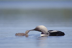 Pacific Loon (Gavia pacifica) parent feeding chick, North America  -  Michael Quinton