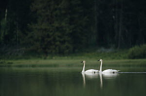 Trumpeter Swan (Cygnus buccinator) pair on lake, North America - Michael Quinton