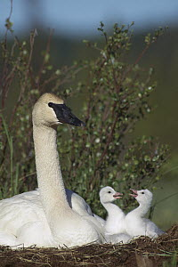 Trumpeter Swan (Cygnus buccinator) parent and squabbling day-old cygnets, North America  -  Michael Quinton