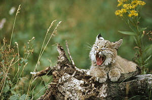 Bobcat (Lynx rufus) kitten yawning while resting on a log in summer, Idaho  -  Michael Quinton