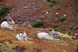 Dall's Sheep (Ovis dalli) trio resting in autumn foliage, Alaska  -  Michael Quinton