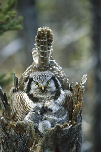 Northern Hawk Owl (Surnia ulula) at nest with chicks, Alaska  -  Michael Quinton