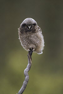 Northern Hawk Owl (Surnia ulula) baby perching on branch, Alaska - Michael Quinton