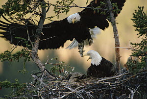 Bald Eagle (Haliaeetus leucocephalus) returning to nest with food for chicks, Alaska  -  Michael Quinton
