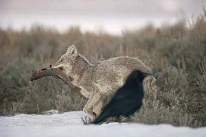 Coyote (Canis latrans) carrying a captured Cutthroat Trout (Oncorhynchus clarki) as a Raven (Corvus corax) looks on, Yellowstone National Park, Wyoming - Michael Quinton