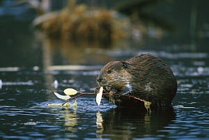 American Beaver (Castor canadensis) nibbling on leaf from willow branch in boreal pond, Alaska  -  Michael Quinton