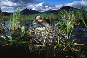Red-necked Grebe (Podiceps grisegena) parent on nest with eggs in boreal pond, Alaska  -  Michael Quinton