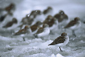 Western Sandpiper (Calidris mauri) flock resting on snowy ground during spring migration stop-over at the Copper River Delta, Alaska  -  Michael Quinton