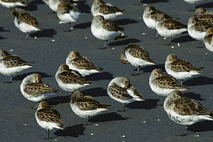 Western Sandpiper (Calidris mauri) flock resting on mudflats with heads tucked under their wings during spring migration stop-over at the Copper River Delta, Alaska  -  Michael Quinton