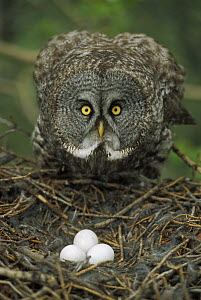 Great Gray Owl (Strix nebulosa) parent protecting eggs in nest, North America  -  Michael Quinton