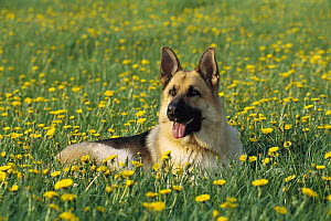 German Shepherd (Canis familiaris) portrait of adult laying in field of dandelions  -  Mark Raycroft