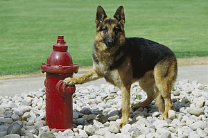 German Shepherd (Canis familiaris) adult standing with paw on red fire hydrant  -  Mark Raycroft