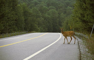 White-tailed Deer (Odocoileus virginianus) doe about to cross highway - Mark Raycroft