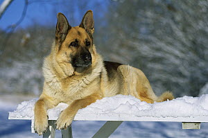 German Shepherd (Canis familiaris) adult resting in snow  -  Mark Raycroft