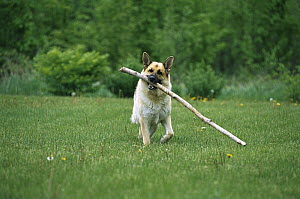 German Shepherd (Canis familiaris) fetching a big stick - Mark Raycroft