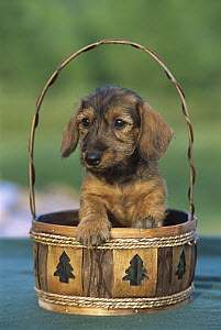 Miniature Wire-haired Dachshund (Canis familiaris) puppy in a basket - Mark Raycroft