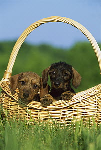 Miniature Wire-haired Dachshund (Canis familiaris) two puppies in a basket - Mark Raycroft